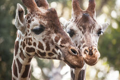 Two giraffes close up Royalty Free Stock Images