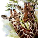 Two  Giraffes. Two cute Giraffes under a baobab tree in Africa watercolor drawing Stock Images