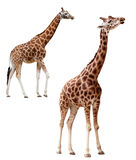 Two giraffes in different positions isolated with. Two giraffes in different positions isolated on white. Clipping path included Stock Photos