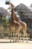 Two giraffes eating Stock Photo