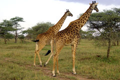 Two giraffes eating Stock Images