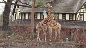 Two Giraffes. Eating grass in Berlin zoo stock video footage