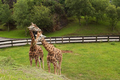 Two giraffes eating grass portrait. Two giraffes eating green grass portrait Stock Images