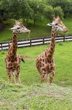 Two giraffes eating grass portrait. Two giraffes eating green grass portrait Royalty Free Stock Photo