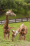 Two giraffes eating grass portrait Royalty Free Stock Photo