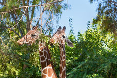 Two giraffes eating Stock Photos