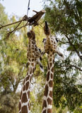 Two giraffes eating Royalty Free Stock Images