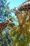 Two giraffes eating at the wildlife preserve. royalty free stock image