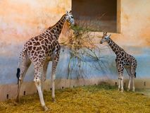 Two giraffes eating in the zoo Stock Photo