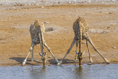 Two giraffes in the Etosha N.P., Namibia. Two giraffe in the Etosha National Park, Namibia Stock Images