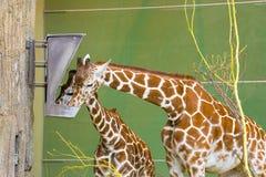 Two giraffes feeding Royalty Free Stock Image
