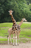 Two giraffes on field. With trees in background Royalty Free Stock Images
