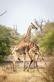 Two Giraffes fighting. Stock Photography