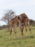 Two giraffes fighting Stock Image