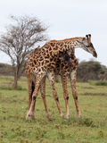 Two giraffes fighting Royalty Free Stock Image