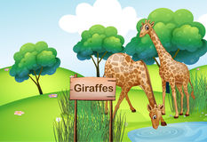 Two giraffes at the forest with a wooden sign board Royalty Free Stock Image