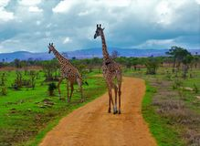 Two giraffes & x28;Giraffa camelopardalis& x29; walking on pathway in colorful African savannah. Two giraffes Giraffa camelopardalis walking together on pathway Royalty Free Stock Photo
