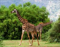 Two giraffes are grazed at acacia bushes. Stock Image