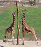 Two Giraffes having mid day meal. Giraffe in zoo feeding on grass and hay Royalty Free Stock Photo