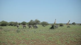 Two giraffes and a herd of zebras walk along the savannah. Back view royalty free stock image