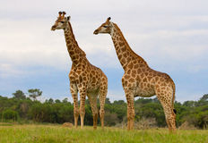 Two Giraffes. Two huge Giraffes standing in the field with trees in the background Royalty Free Stock Photo