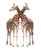 Two giraffes isolated Stock Image