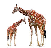 Two giraffes isolated Royalty Free Stock Photos