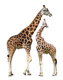 Two giraffes. Isolated on white background Stock Photography