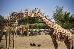 Free Two Giraffes Kissing Stock Images - 118658724