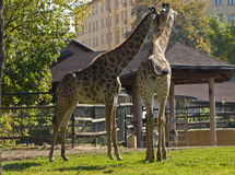 Free Two Giraffes Kissing Stock Image - 17070441