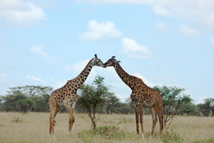 Two giraffes kissing. Two giraffes standing opposite each other with heads together Royalty Free Stock Image