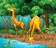 Two giraffes living in the forest Royalty Free Stock Photo