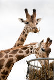 Two giraffes living in safari park Royalty Free Stock Images