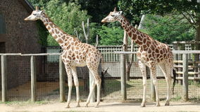 Two Giraffes at London Zoo in their enclosure Stock Photo