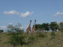 Two Giraffes Stock Photos