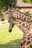 Two giraffes in love Royalty Free Stock Photo