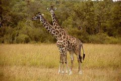 Two giraffes in Masai Mara Stock Photo