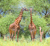 Two Giraffes in National Park, Tanzania. Royalty Free Stock Photo