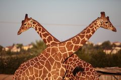 Two giraffes neck to neck stock images