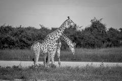 Two Giraffes necking in Chobe. Royalty Free Stock Photos