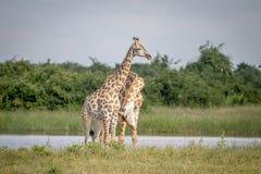 Two Giraffes necking in Chobe. Stock Photos
