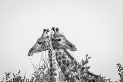 Two Giraffes next to each other in black and white in the Kruger National Park. Stock Photo