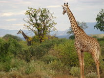 Two Giraffes. One giraffe watches another as it wanders across the plain Royalty Free Stock Photo