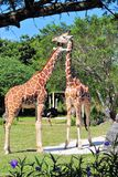 Two Giraffes & an Ostrich Stock Photo