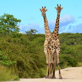 Two giraffes in perfect forming Royalty Free Stock Photo