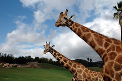 Two giraffes portrait. Two giraffes walking in a natural lanscape at the wild animal park in San Diego, CA Royalty Free Stock Photos