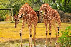 Two Giraffes In a Puddle Royalty Free Stock Photo