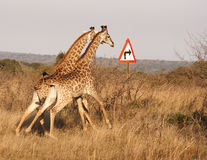 Two Giraffes With Right Turn Arrow Royalty Free Stock Photos