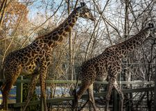 Two Giraffes roaming around at a sanctuary that will preserve them stock image