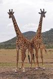 Giraffe. Two giraffes at safari in Africa Stock Photo